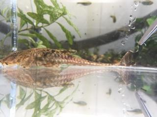 Rineloricaria sp. (5)