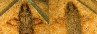 Rineloricaria sp. (7)