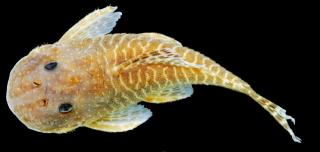 Soromonichthys stearleyi