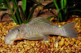 Spectracanthicus immaculatus