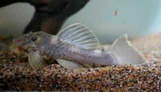 Spectracanthicus murinus