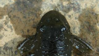 Spectracanthicus punctatissimus