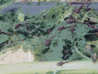 Sturisomatichthys aureus