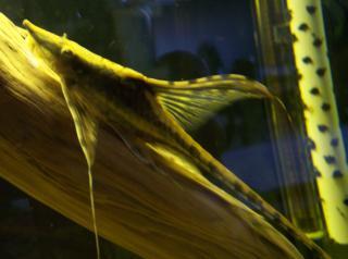 Sturisomatichthys festivus