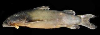 Atopochilus mandevillei