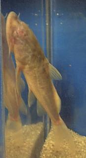 Atopochilus sp. (1)