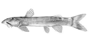 Chiloglanis angolensis