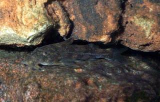 Chiloglanis polypogon
