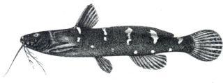 Microsynodontis batesii