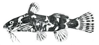 Microsynodontis lamberti