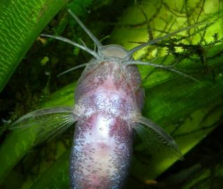Microsynodontis polli