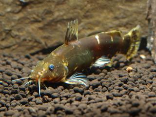 Microsynodontis sp. (1)