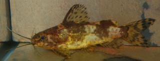 Mochokiella paynei