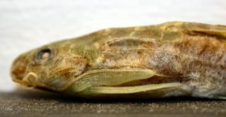 Mochokus niloticus