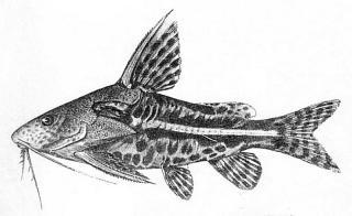 Synodontis albolineatus