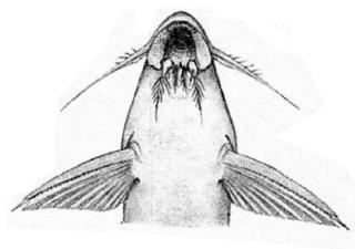 Synodontis annectens