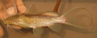 Synodontis caudalis