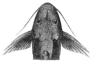 Synodontis cuangoanus