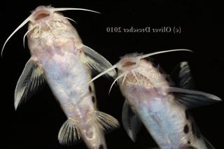 Synodontis grandiops