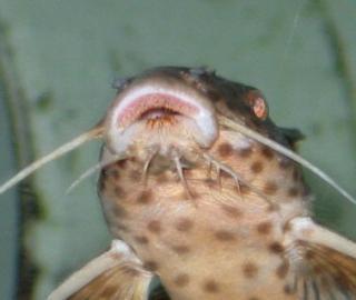 Synodontis irsacae