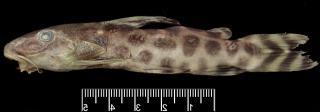 Synodontis katangae