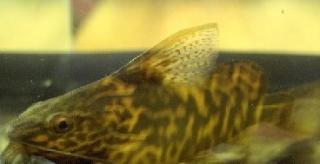 Synodontis koensis