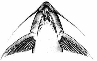 Synodontis macrops
