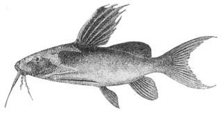 Synodontis melanopterus