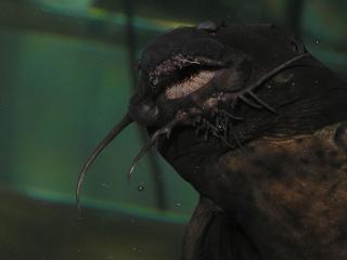 Synodontis polli