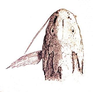 Synodontis polyodon