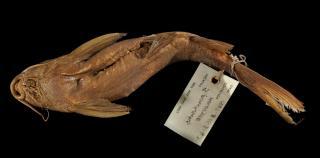 Synodontis punctulatus