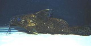 Synodontis robbianus