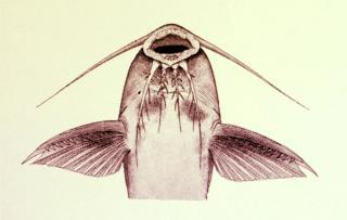 Synodontis ruandae