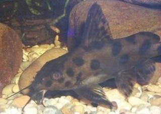 Synodontis sp. hybrid(1)