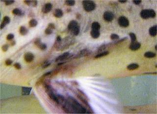 Synodontis tanganyicae