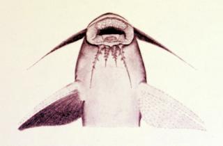 Synodontis thysi