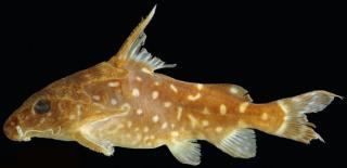 Synodontis woleuensis