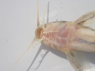 Synodontis zambezensis
