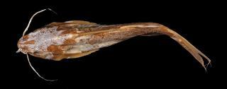 Synodontis zanzibaricus