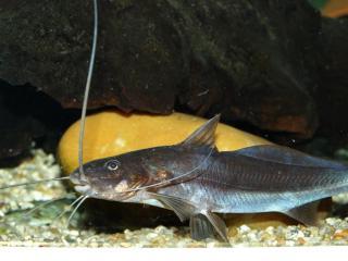 Exallodontus aguanai