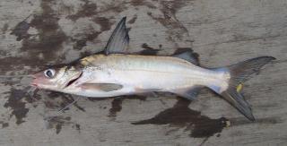 Parapimelodus nigribarbis