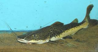 Phractocephalus sp. hybrid(1)