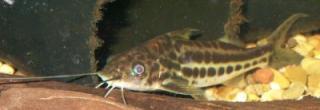 Pimelodus albofasciatus
