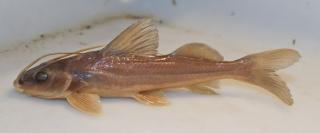 Pimelodus atrobrunneus