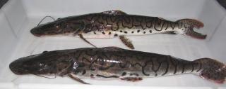 Pseudoplatystoma reticulatum