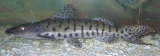 Pseudoplatystoma sp. hybrid(4)