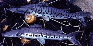 Pseudoplatystoma tigrinum