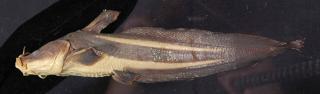 Plotosus papuensis