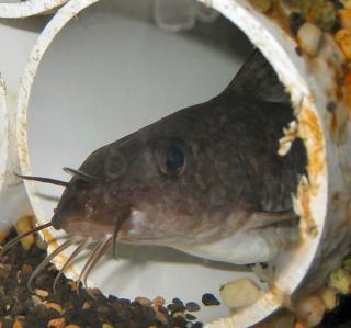 Tandanus tandanus