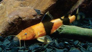 Rhyacoglanis paranensis